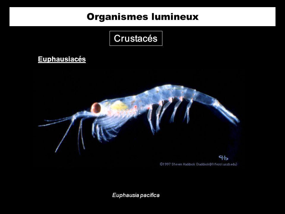 Crustacés Euphausia pacifica Euphausiacés Organismes lumineux