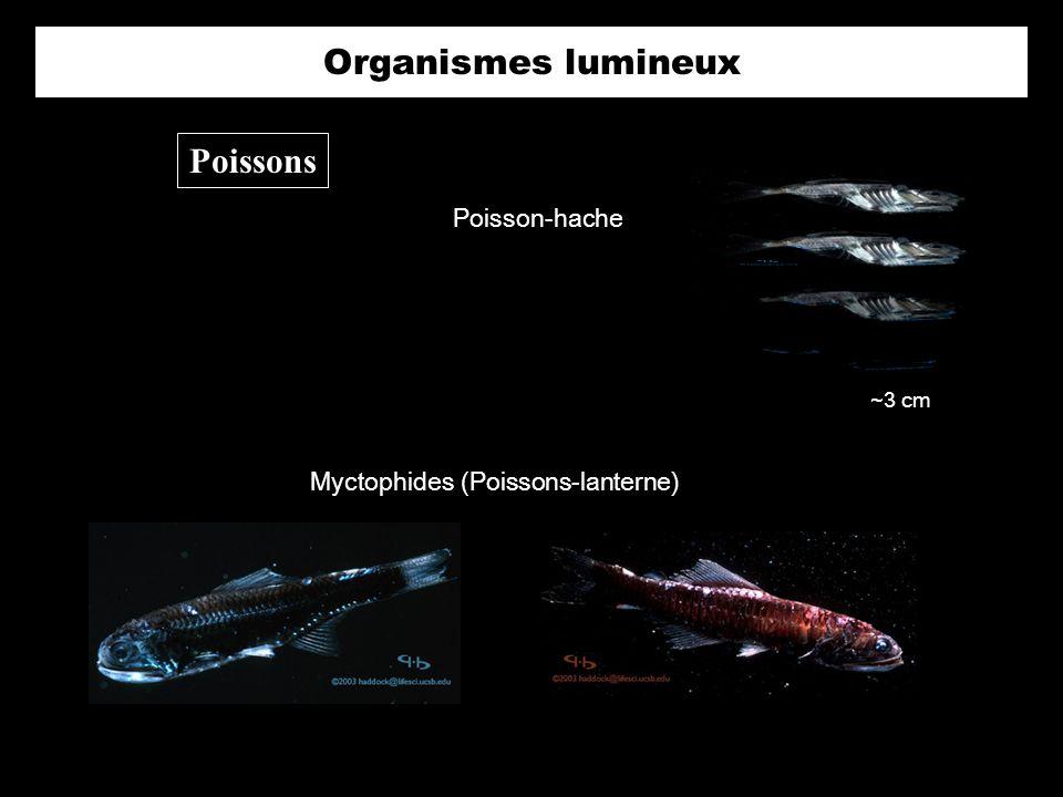 Organismes lumineux Poissons Myctophides (Poissons-lanterne) Poisson-hache ~3 cm