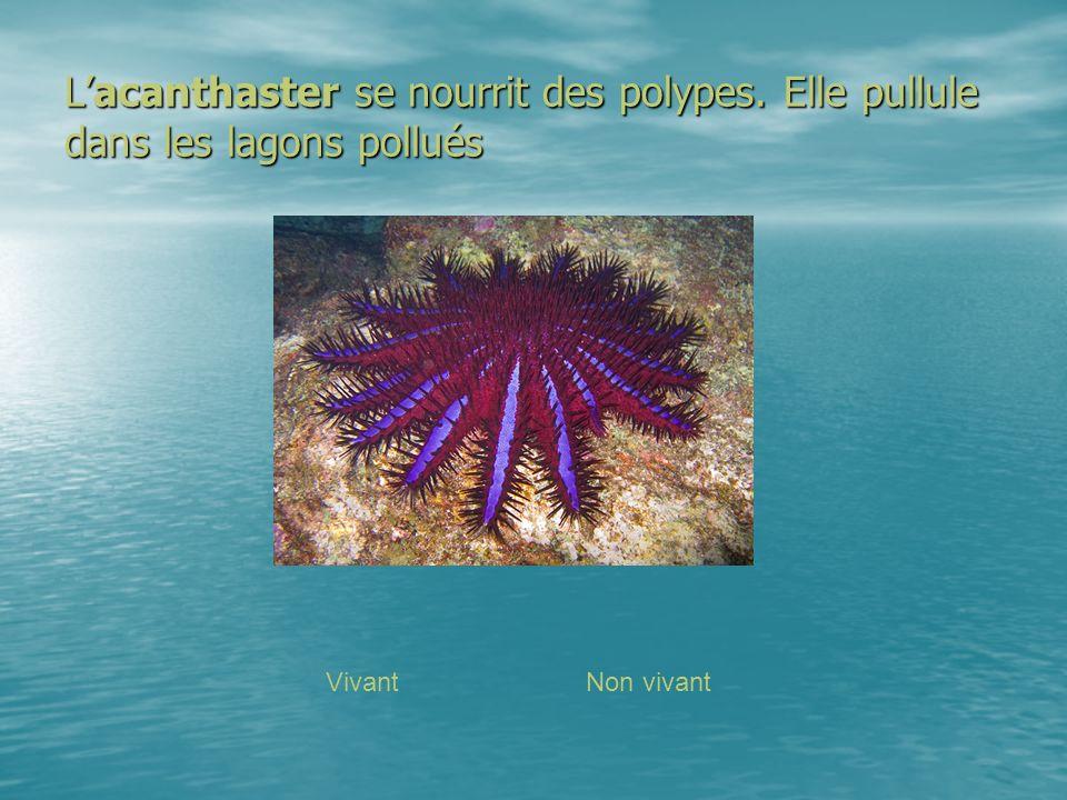 Lacanthaster se nourrit des polypes. Elle pullule dans les lagons pollués VivantNon vivant