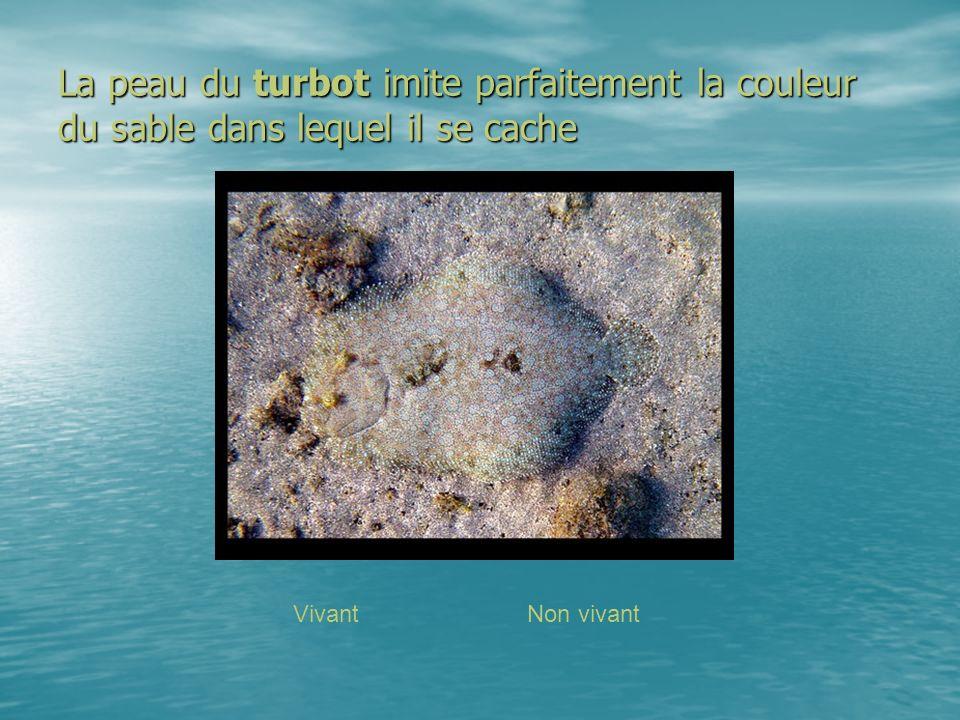 La peau du turbot imite parfaitement la couleur du sable dans lequel il se cache VivantNon vivant