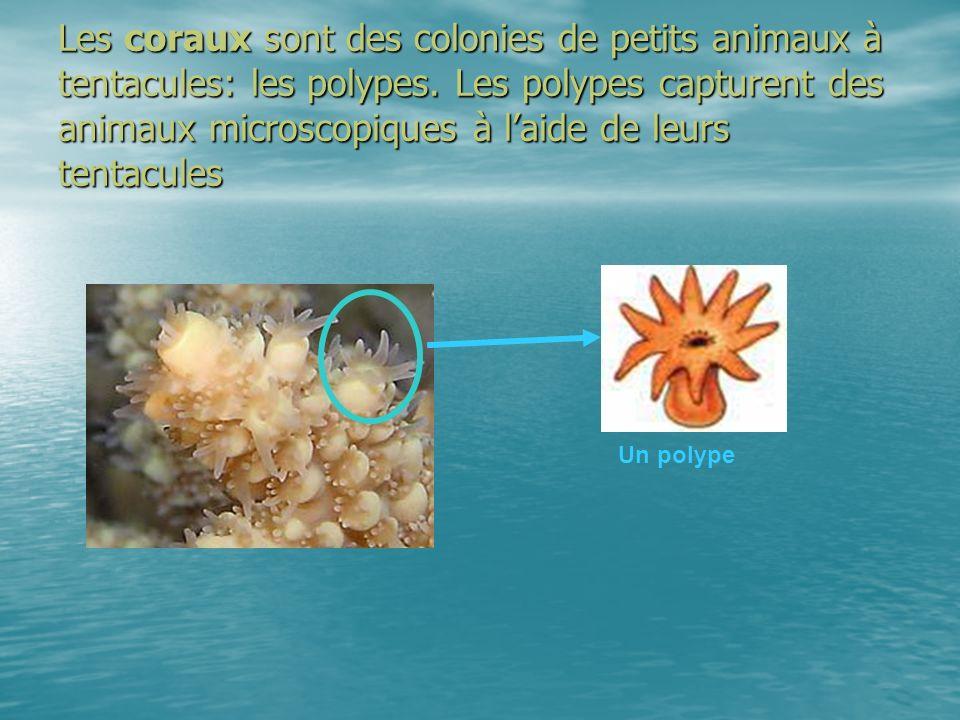 Les coraux sont des colonies de petits animaux à tentacules: les polypes. Les polypes capturent des animaux microscopiques à laide de leurs tentacules
