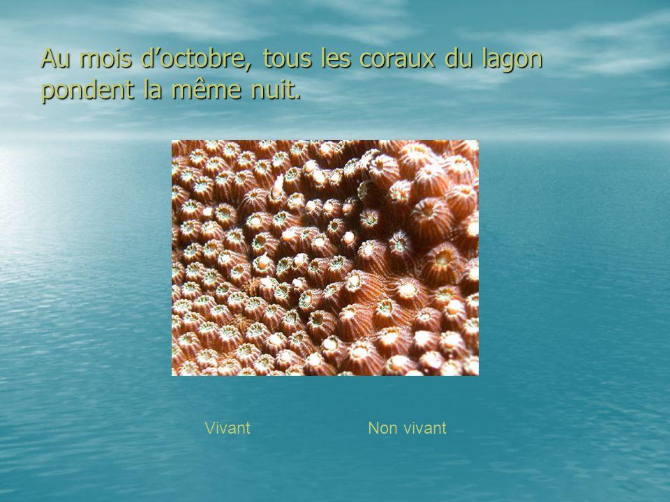 Au mois doctobre, tous les coraux du lagon pondent la même nuit. VivantNon vivant