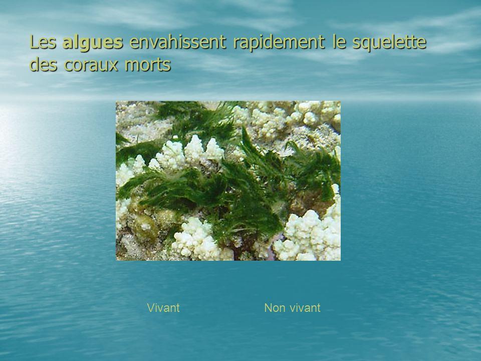Les algues envahissent rapidement le squelette des coraux morts VivantNon vivant