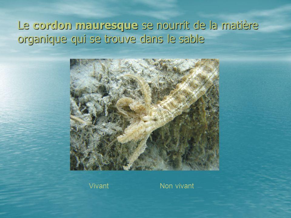 Le cordon mauresque se nourrit de la matière organique qui se trouve dans le sable VivantNon vivant