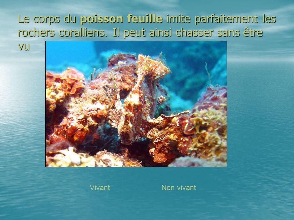 Le corps du poisson feuille imite parfaitement les rochers coralliens. Il peut ainsi chasser sans être vu VivantNon vivant