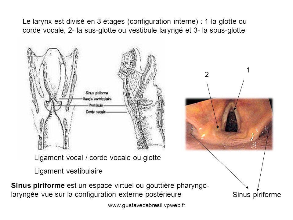 www.gustavedabresil.vpweb.fr Ligament vocal / corde vocale ou glotte Ligament vestibulaire 1 2 Sinus piriforme Sinus piriforme est un espace virtuel o