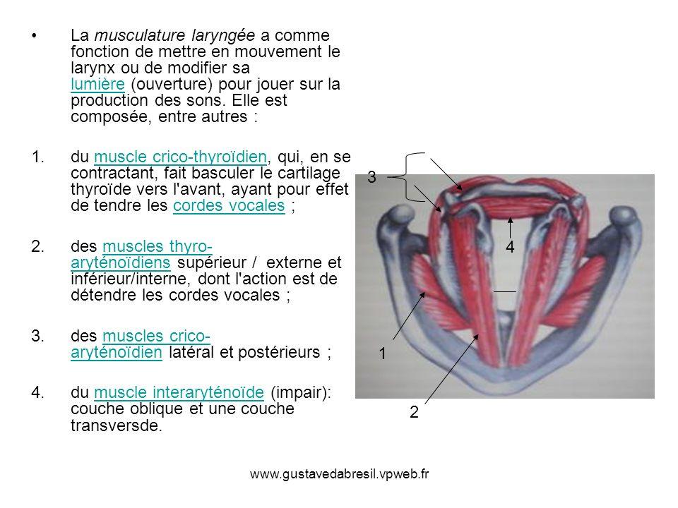 www.gustavedabresil.vpweb.fr La musculature laryngée a comme fonction de mettre en mouvement le larynx ou de modifier sa lumière (ouverture) pour joue