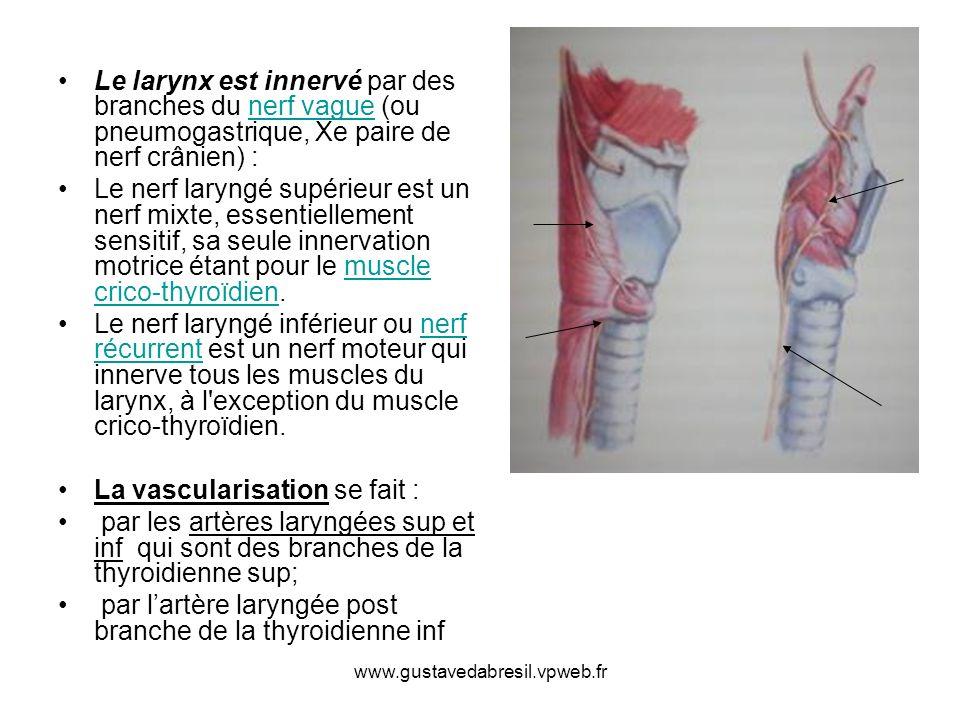 www.gustavedabresil.vpweb.fr Le larynx est innervé par des branches du nerf vague (ou pneumogastrique, Xe paire de nerf crânien) :nerf vague Le nerf l