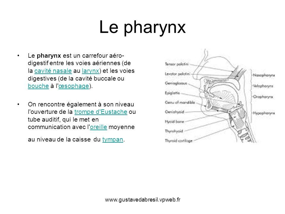 www.gustavedabresil.vpweb.fr Le pharynx Le pharynx est un carrefour aéro- digestif entre les voies aériennes (de la cavité nasale au larynx) et les vo