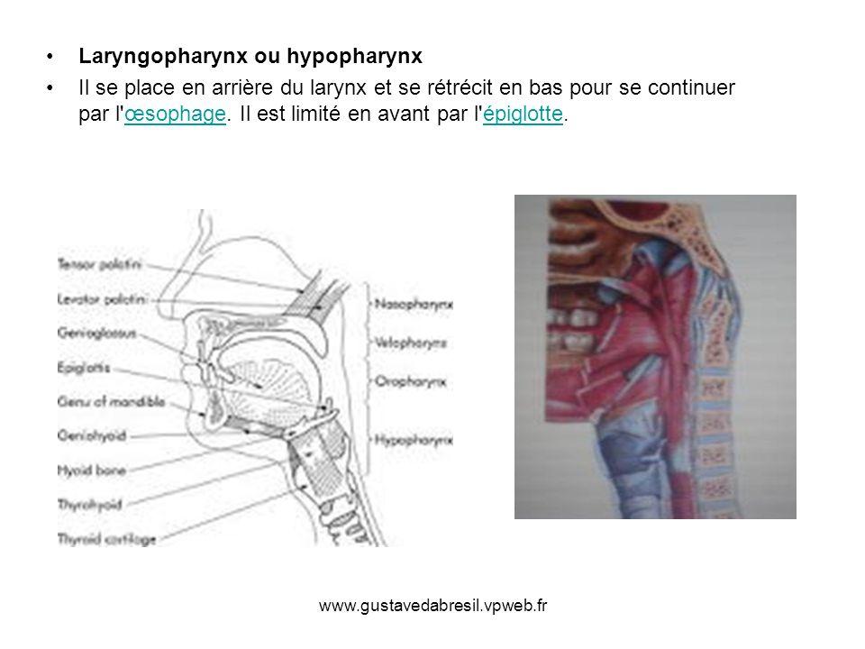 www.gustavedabresil.vpweb.fr Laryngopharynx ou hypopharynx Il se place en arrière du larynx et se rétrécit en bas pour se continuer par l'œsophage. Il