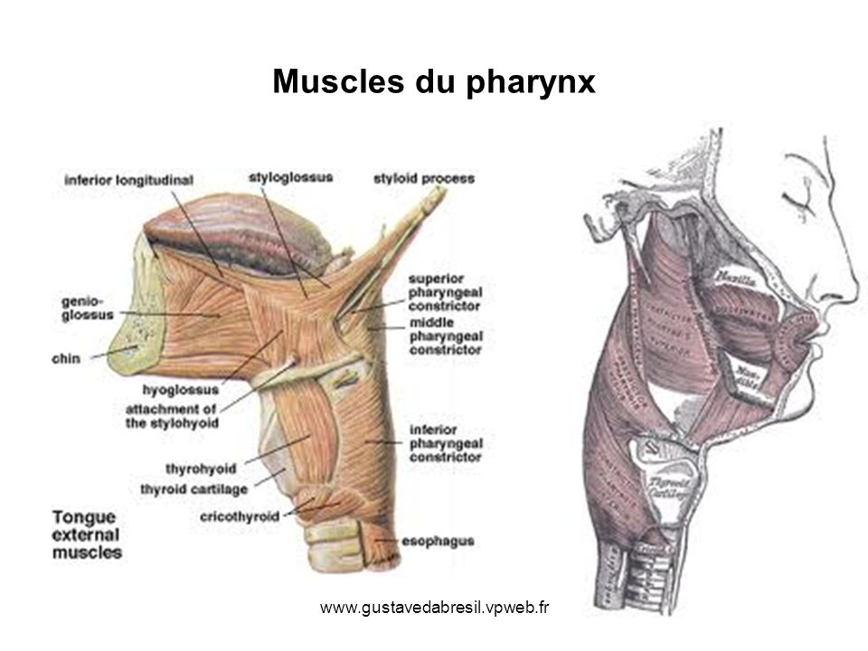 www.gustavedabresil.vpweb.fr Muscles du pharynx