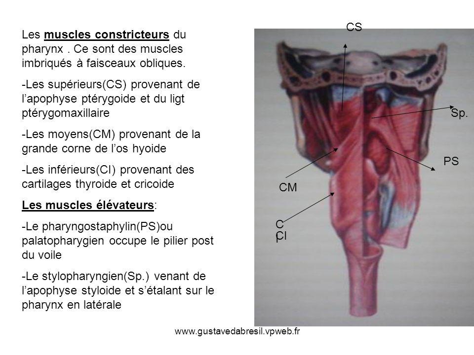 www.gustavedabresil.vpweb.fr Les muscles constricteurs du pharynx. Ce sont des muscles imbriqués à faisceaux obliques. -Les supérieurs(CS) provenant d