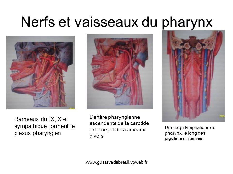 www.gustavedabresil.vpweb.fr Nerfs et vaisseaux du pharynx Rameaux du IX, X et sympathique forment le plexus pharyngien Lartère pharyngienne ascendant