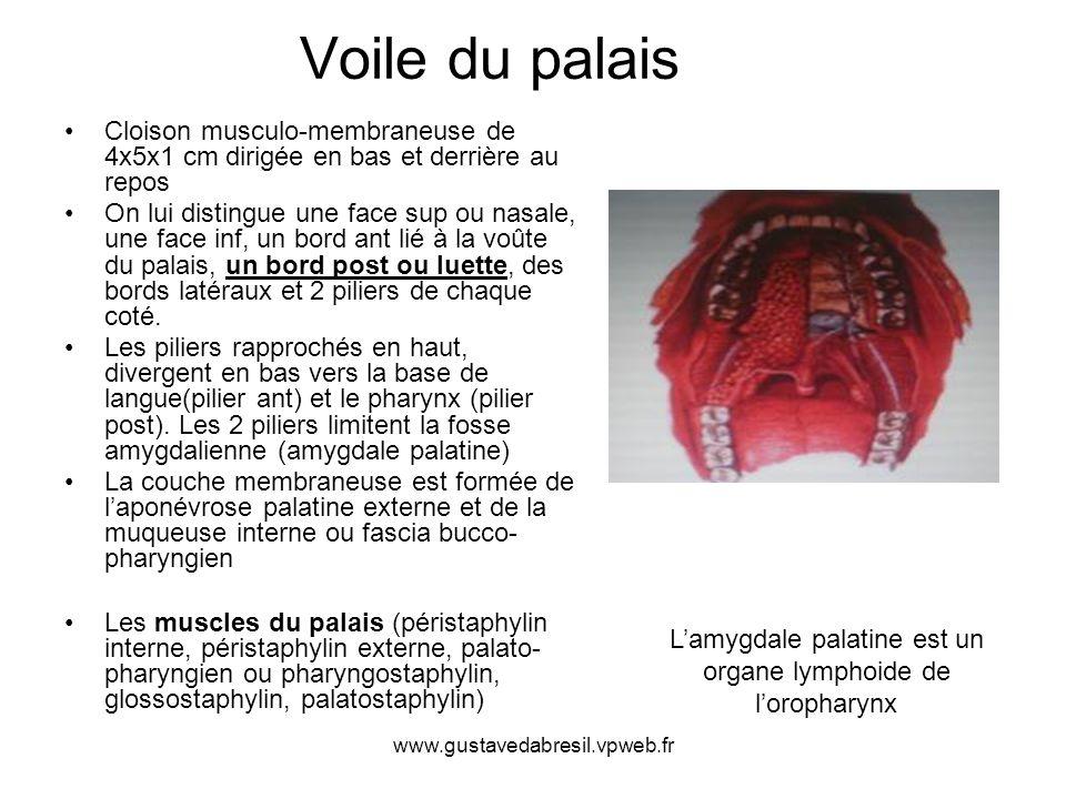 www.gustavedabresil.vpweb.fr Voile du palais Cloison musculo-membraneuse de 4x5x1 cm dirigée en bas et derrière au repos On lui distingue une face sup