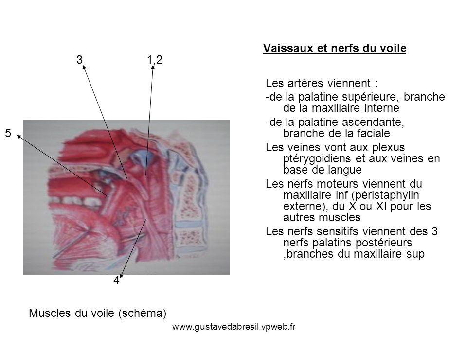 www.gustavedabresil.vpweb.fr Vaissaux et nerfs du voile Les artères viennent : -de la palatine supérieure, branche de la maxillaire interne -de la pal