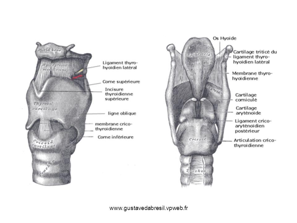 Les ligaments du larynx Les extrinsèques : 1.La membrane thyro-hyoidienne épaissie au milieu et sur les cotés en ligaments thyro-hyoidiens médians et latéraux, unit le bord sup du cartilage thyroide à los hyoide 2.La membrane cricotrachéale qui unit trachée et bord inf du cricoide Les intrinsèques : 1.La membrane crico-thyroidienne qui unit thyroide et cricoide; elle est renforcée par une capsule articulaire 2.Les ligaments thyro-aryténoidiens supérieur (ligament vestibulaire) et inférieur (ligament vocal) 3.Le ligament aryténo-épiglottique qui forme les replis ary-épiglottiques de louverture laryngée 4.Le ligament thyro-épiglottique unit le pied de lépiglotte au cartilage thyroide 5.La capsule articulaire crico-aryténoidienne entre la base dune aryténoide et bord sup du chaton du cricoide 6.Les ligaments ou tractus fibreux crico-corniculés 7.Les fibro-cartilages aryténo-corniculés