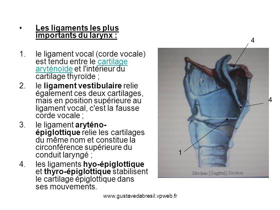 www.gustavedabresil.vpweb.fr Les ligaments les plus importants du larynx : 1.le ligament vocal (corde vocale) est tendu entre le cartilage aryténoïde