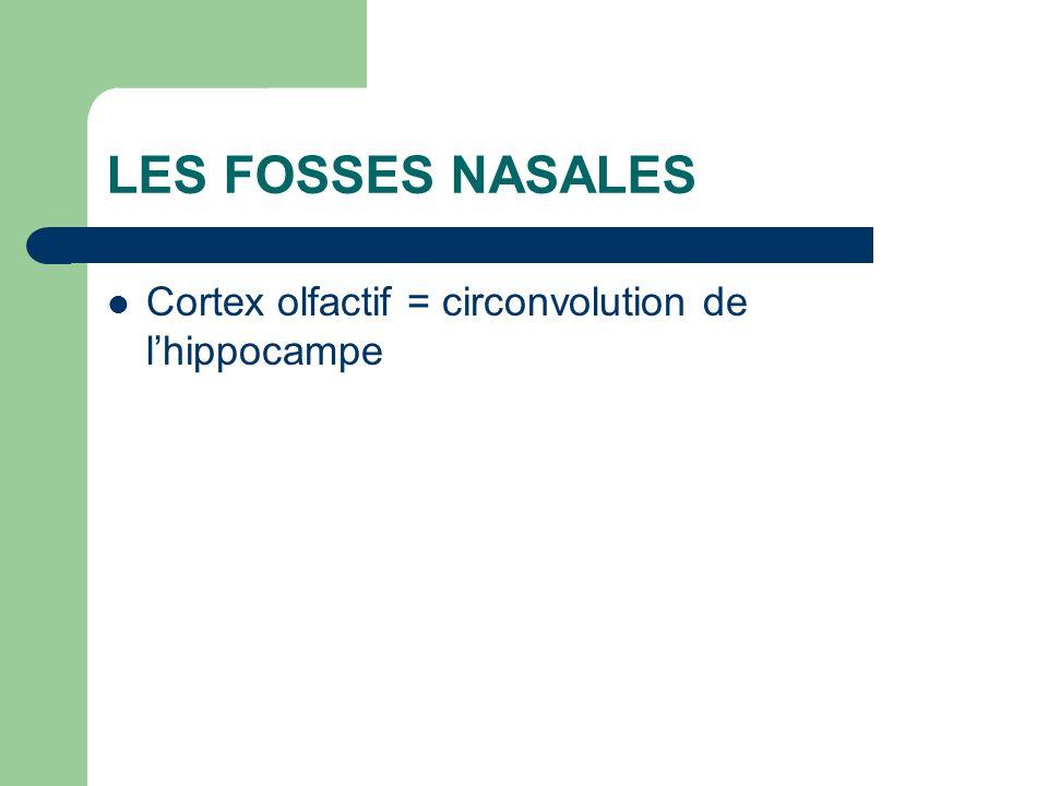 Cortex olfactif = circonvolution de lhippocampe