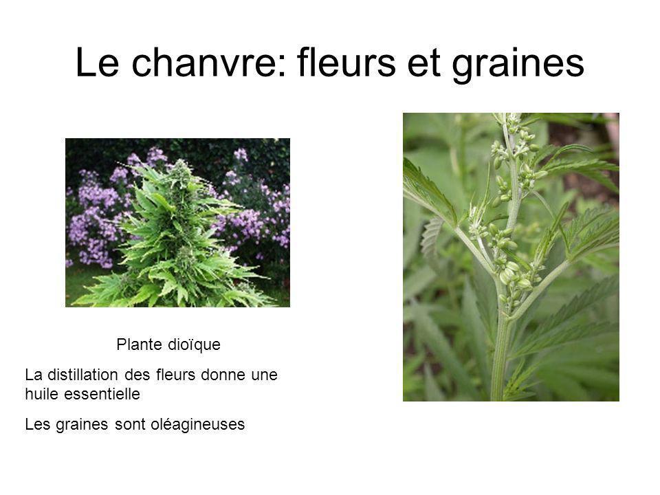 Le chanvre: fleurs et graines Plante dioïque La distillation des fleurs donne une huile essentielle Les graines sont oléagineuses