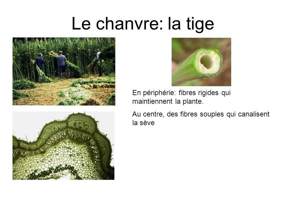 Le chanvre: la tige En périphérie: fibres rigides qui maintiennent la plante. Au centre, des fibres souples qui canalisent la sève