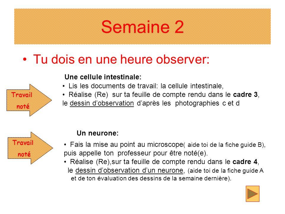 Semaine 2 Tu dois en une heure observer: Un neurone: Une cellule intestinale: Travail noté Travail noté Lis les documents de travail: la cellule intes
