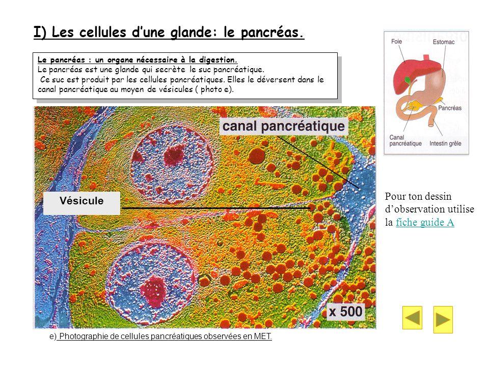 I) Les cellules dune glande: le pancréas. Le pancréas : un organe nécessaire à la digestion. Le pancréas est une glande qui secrète le suc pancréatiqu