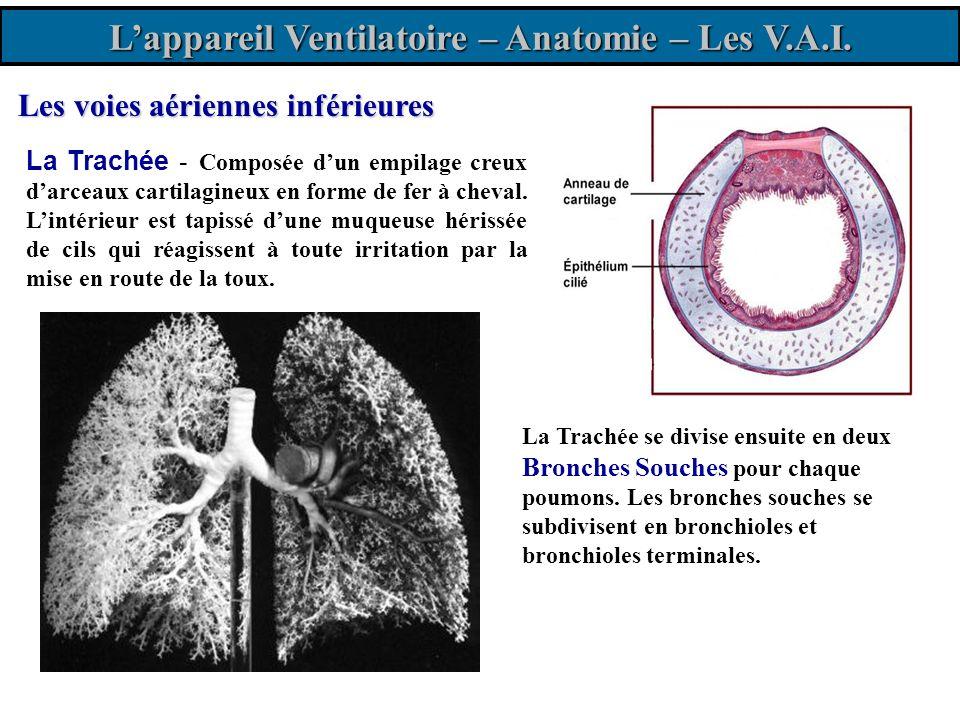 Diaphragme Plèvre pariétale Plèvre viscérale Lappareil Ventilatoire - Anatomie Trachée Bronches 12 paires de côtes Hile* Les poumons et la plèvre : Les poumons sont constitués de 5 masses spongieuses (3 à droite et 2 à gauche) entourées dune membrane protectrice; la plèvre.
