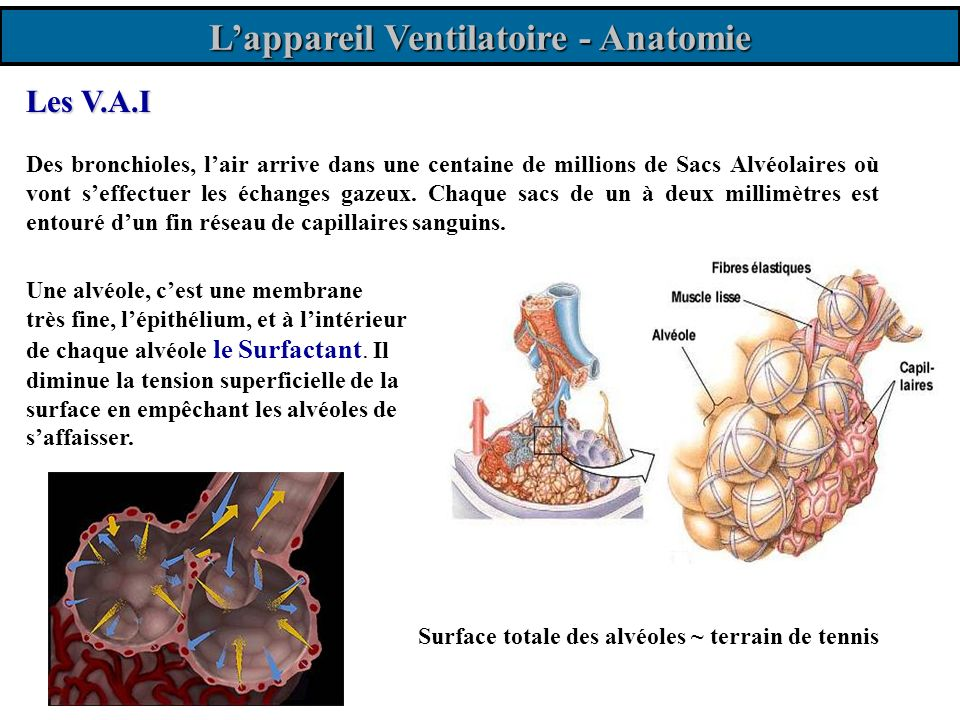 http://ici.cegep-ste-foy.qc.ca/profs/gbourbonnais/index.html Lappareil Ventilatoire - Physiologie