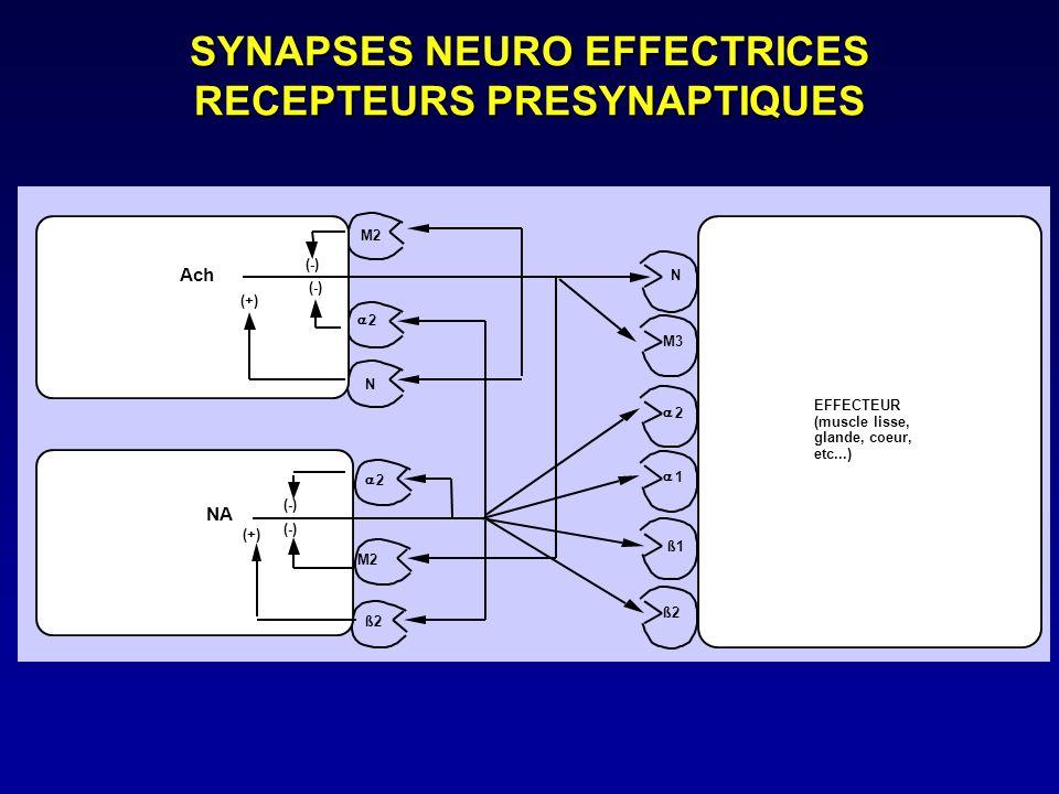 M2 2 N (-) (+) Ach 2 M2 ß2 (-) (+) NA EFFECTEUR (muscle lisse, glande, coeur, etc...) N M3 2 1 ß1 ß2 SYNAPSES NEURO EFFECTRICES RECEPTEURS PRESYNAPTIQ
