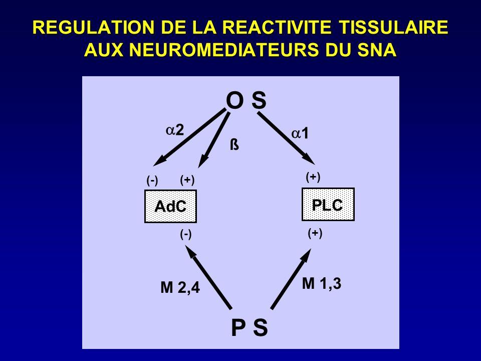 REGULATION DE LA REACTIVITE TISSULAIRE AUX NEUROMEDIATEURS DU SNA O S AdC PLC (+) (-) 2 1 (-) M 1,3 M 2,4 ß (+) P S