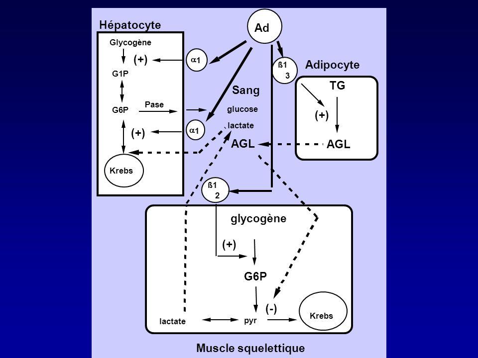 Hépatocyte Adipocyte Muscle squelettique Glycogène G1P G6P Pase Krebs (+) 1 1 Ad Sang TG AGL ß1 (+) ß1 glycogène G6P Krebs lactate pyr (-) glucose lac