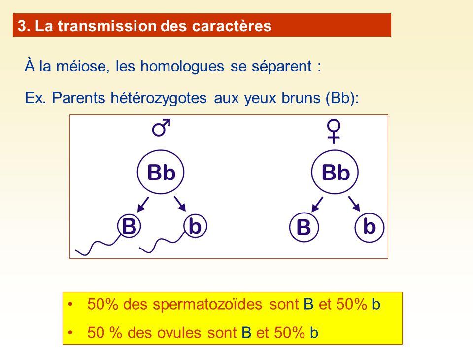 À la méiose, les homologues se séparent : Ex. Parents hétérozygotes aux yeux bruns (Bb): 50% des spermatozoïdes sont B et 50% b 50 % des ovules sont B