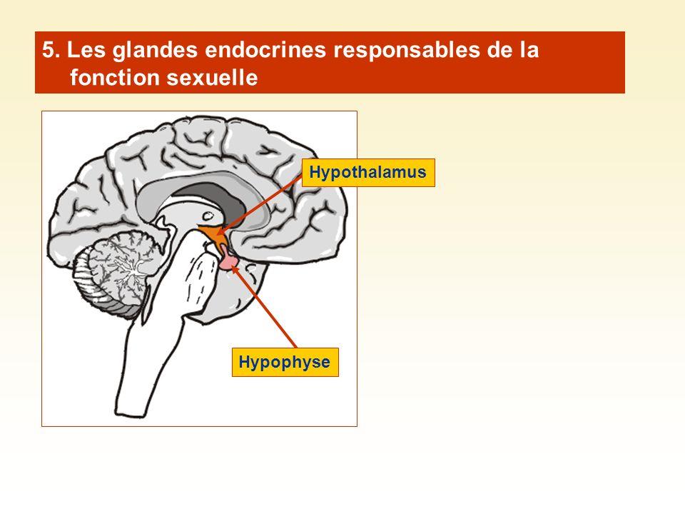 5. Les glandes endocrines responsables de la fonction sexuelle Hypothalamus Hypophyse