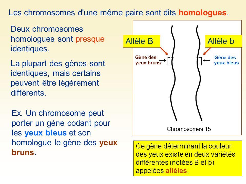Les allèles occupent un emplacement précis sur le chromosome = locus (pluriel loci) Locus de l allèle B Locus de l allèle b B et b occupent le même locus sur le chromosome 15