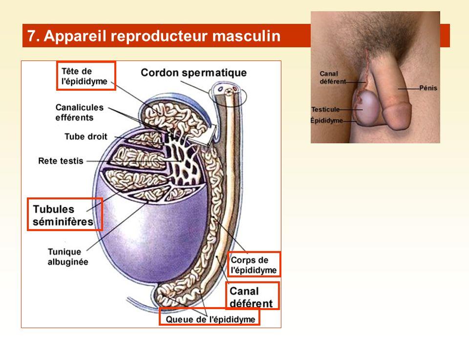 7. Appareil reproducteur masculin