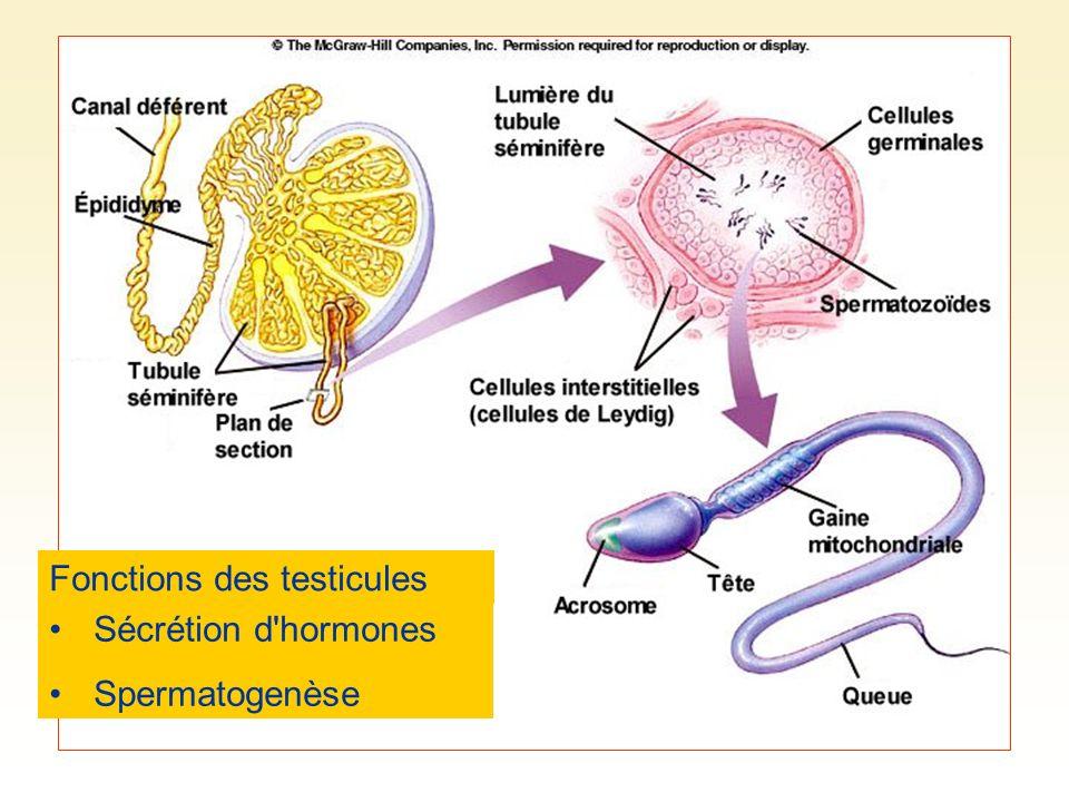 Fonctions des testicules Sécrétion d'hormones Spermatogenèse
