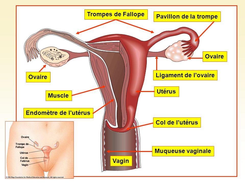 Trompes de FallopePavillon de la trompe Ovaire Ligament de l'ovaire Utérus Col de l'utérus Vagin Muqueuse vaginale Endomètre de l'utérus Muscle