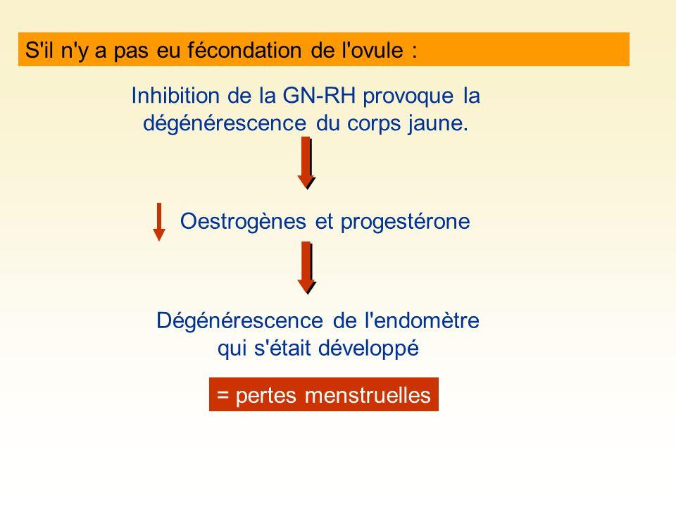 S'il n'y a pas eu fécondation de l'ovule : Inhibition de la GN-RH provoque la dégénérescence du corps jaune. Oestrogènes et progestérone Dégénérescenc