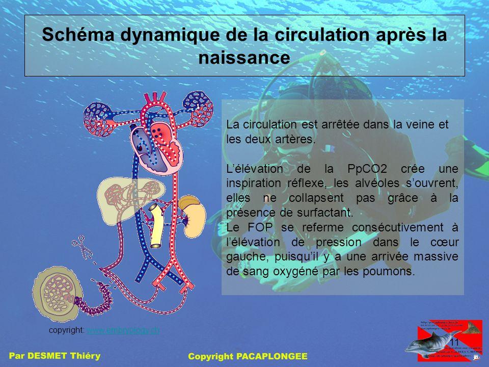 10 Que ce passe til au niveau de la circulation? Au niveau du cœur: Larrêt de la circulation placentaire diminue la pression dans loreillette droite.