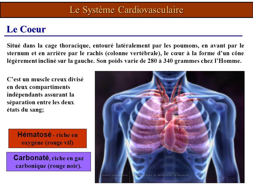 Le Système Cardiovasculaire Situé dans la cage thoracique, entouré latéralement par les poumons, en avant par le sternum et en arrière par le rachis (