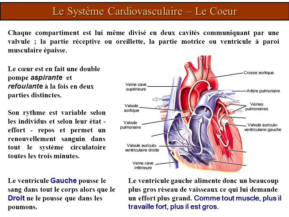 Le cœur est en fait une double pompe aspirante et refoulante à la fois en deux parties distinctes. Son rythme est variable selon les individus et selo