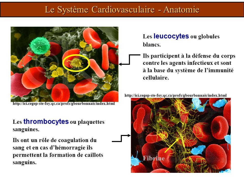http://ici.cegep-ste-foy.qc.ca/profs/gbourbonnais/index.html leucocytes Les leucocytes ou globules blancs. Ils participent à la défense du corps contr