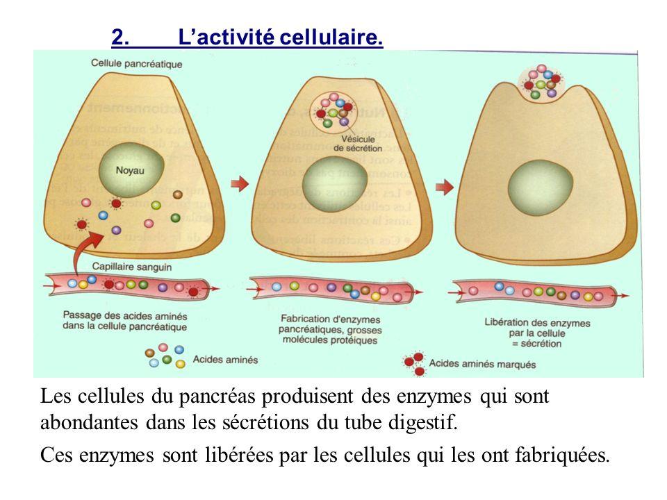 2.Lactivité cellulaire. Les cellules du pancréas produisent des enzymes qui sont abondantes dans les sécrétions du tube digestif. Ces enzymes sont lib