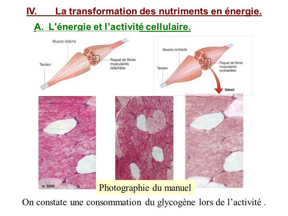 IV.La transformation des nutriments en énergie. A.L'énergie et lactivité cellulaire. On constate une consommation du glycogène lors de lactivité. Phot