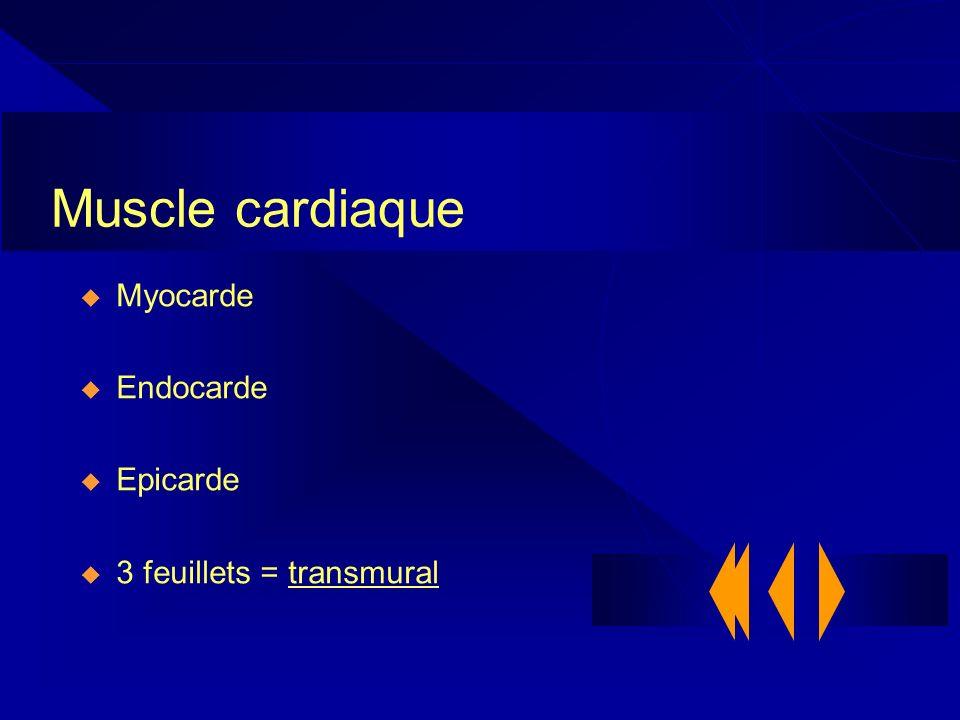 Muscle cardiaque Myocarde Endocarde Epicarde 3 feuillets = transmural