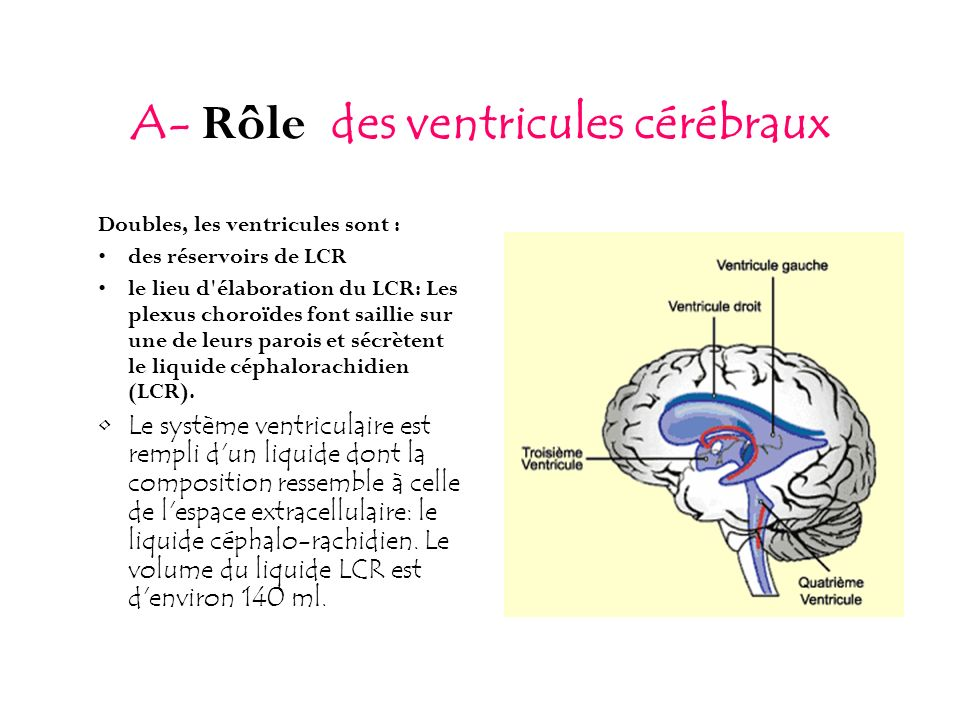 A- Rôle des ventricules cérébraux Doubles, les ventricules sont : des réservoirs de LCR le lieu d'élaboration du LCR: Les plexus choroïdes font sailli