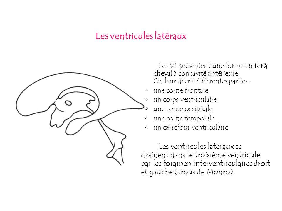Les ventricules latéraux Les VL présentent une forme en fer à cheval à concavité antérieure. On leur décrit différentes parties : une corne frontale u