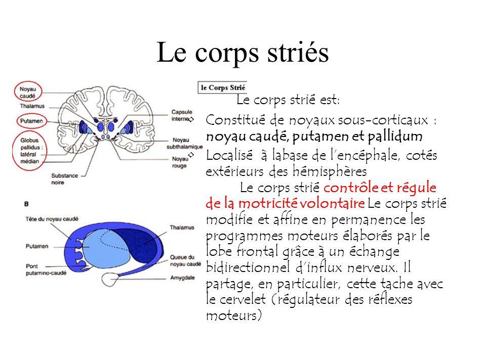 Le corps striés Le corps strié est: Constitué de noyaux sous-corticaux : noyau caudé, putamen et pallidum Localisé à labase de lencéphale, cotés extér