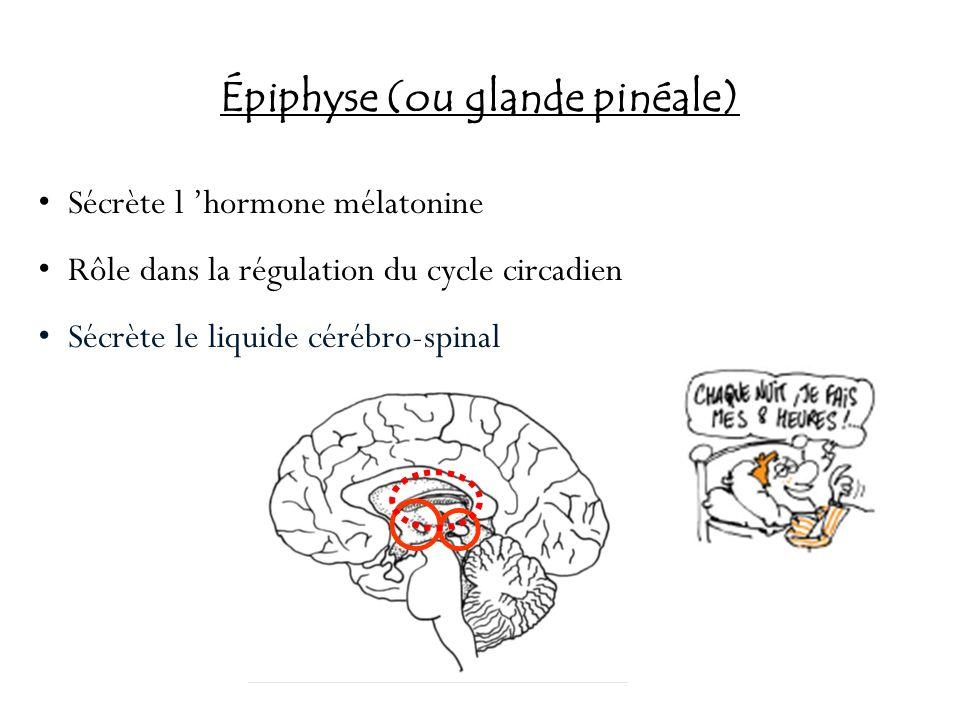 Épiphyse (ou glande pinéale) Sécrète l hormone mélatonine Rôle dans la régulation du cycle circadien Sécrète le liquide cérébro-spinal