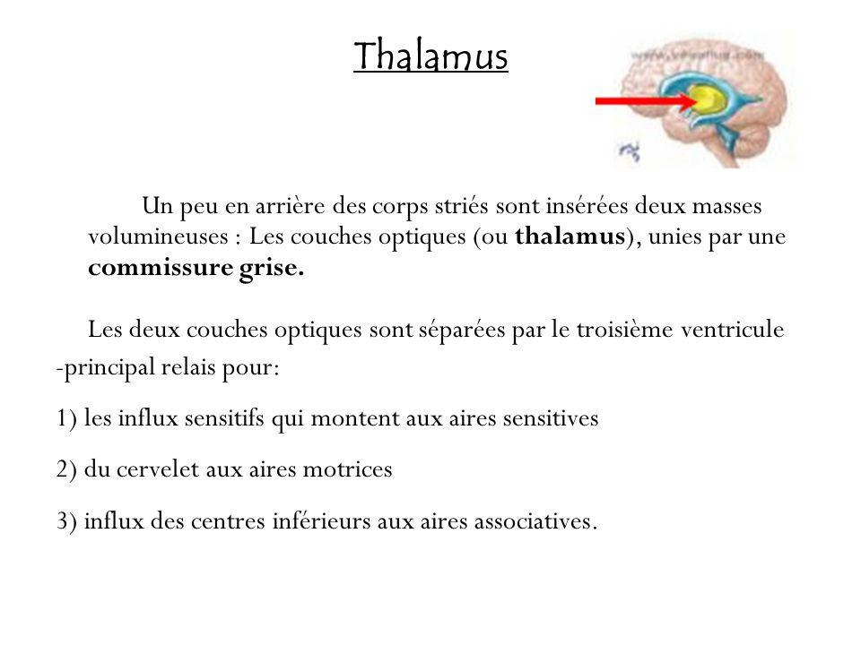 Thalamus Un peu en arrière des corps striés sont insérées deux masses volumineuses : Les couches optiques (ou thalamus), unies par une commissure gris